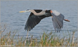 Great Blue Heron 33