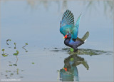 Purple Gallinule 4