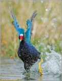 Purple Gallinule 8