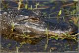 American Aligator 1