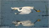 Snowy  Egret 5
