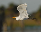 Cattle Egret 8