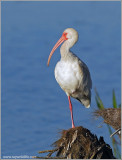Woodstorks and Ibises
