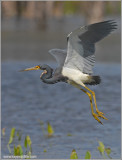 TriColoured Heron 25