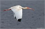 White ibis 10