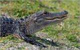 American Aligator 2