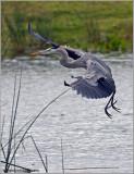 Great Blue Heron 41