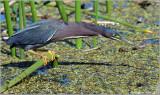 Green Heron 15