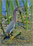 Green Heron 19
