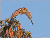 Red-tailed Hawk 69