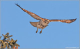 Red-tailed Hawk 70