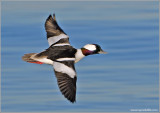Male Bufflehead 14