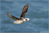 Female Long-tailed Duck 8