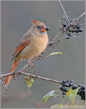 Female Northern Cardinal 17