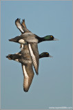Greater Scaups 2