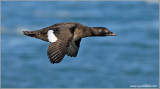 White-winged Scoter 1