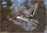 Male Northern Pintail 2