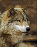 Timber Wolf 31