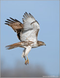 Red-tailed Hawk 74