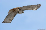 Red-tailed Hawk 75