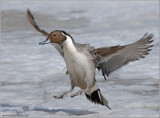 Male Northern Pintail 4