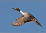 Male Northern Pintail 5