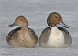 Northern Pintail Couple 7