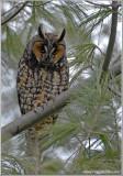 Long-eared Owl 2