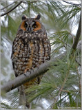 Long-eared Owl 3