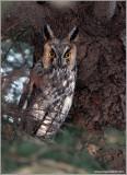 Long-eared Owl 5