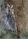 Long-eared Owl 7
