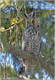 Long-eared Owl 9