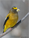 Evening Grosbeak male 1