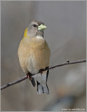 Evening Grosbeak female 2