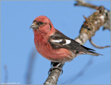 White-winged Crossbill 3