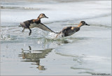 Ring-necked Ducks 6