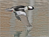 Male Bufflehead 15
