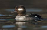 Female Bufflehead 16
