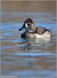 Ring-necked Duck 3