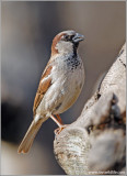 House Sparrow, male 2