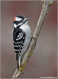 Downy Woodpecker 7