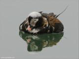 Long-tailed Duck 16