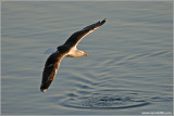Black-backed Gull 1