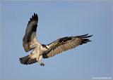 Osprey 25