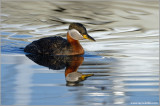 Red-necked Grebe 30