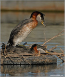 Red Necked Grebe 35