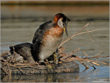 Red Necked Grebe 36
