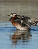 Red Necked Grebe 37