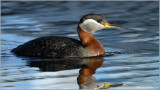 Red Necked Grebe 38