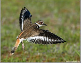Killdeer 7